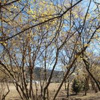 四季の森星野のロウバイ
