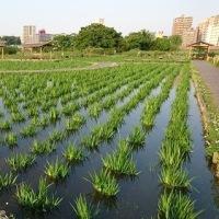 小岩菖蒲園情報 ~江戸川道場~