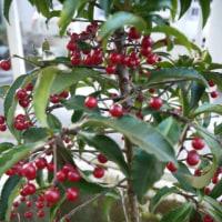 クリスマスツリーみたい、赤い実の【万両】