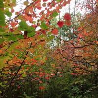 おおの自然観察の森、ベニマンサクの小径 2016