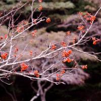 秋から初冬へ・・葉を落としたナナカマド