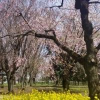 桜 咲く。