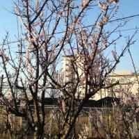 速報 桜開花2017 奥羽本線脇の歩行者道路の桜開花