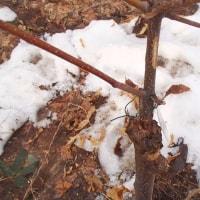 昨年接木の栗