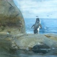 タソガレルのはペンギン