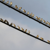電線止まりの鳥 ビンズイ ニュウナイスズメ