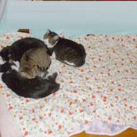 布団の上に乗る猫