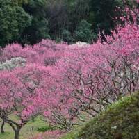 山田池公園の梅林