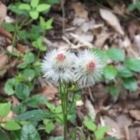 キク科の花 on 弘法山