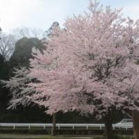 JA駐車場の桜