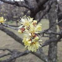 大阪城公園の梅林。
