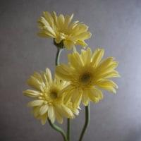 今日の仏花【クリーム色のガーベラ】