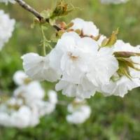 ◆ 八重桜