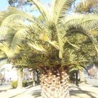 如月ラストのカナリー椰子