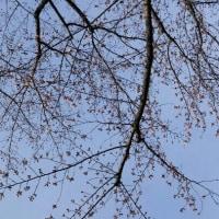 4月5日(水)のつぶやき★家の前の染井と大島桜は後一日待てば7分の咲きか?ミサイルが又飛んだ!斬首作戦が、、★