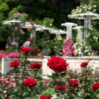 五月のバラ 真紅の オリヴィア
