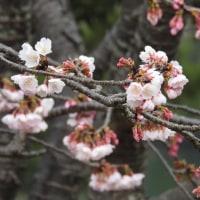 この季節、桜でしょう