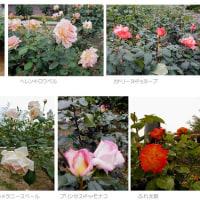 バラ園を観察    - 東山植物園/名古屋 -