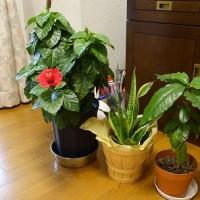 鉢植えの越冬