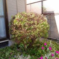 北西のサンゴ樹の生垣を剪定しました(*^^)v