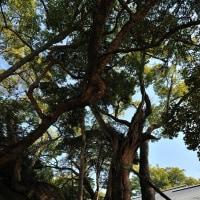 日本最古の楠