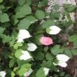7月19日~20日 燕岳~常念:アルプス展望&花めぐり その2