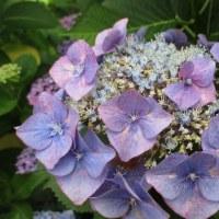 紫陽花ロードの朝