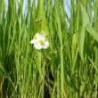 ギシギシ:その根は生薬、羊蹄根