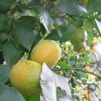 今年の柑橘類