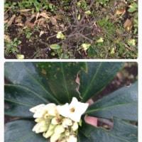 (16)路上観察〜白い沈丁花