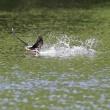 今日の鳥  ハリオアマツバメ