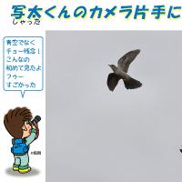 写太くんのカメラ片手にパチさんぽ#19(カッコウのなわばり争い?)