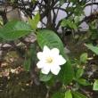 クチナシの花。
