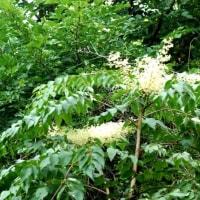 樹木ウォッチング冬から夏へ204ヤマウルシ2