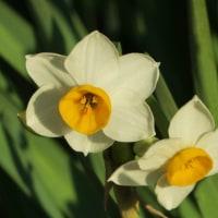 スイセン【水仙】の花の開花とジョウビタキオスなど