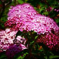『季節の花』 シモツケ