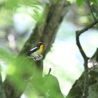 大山寺周辺で出会った鳥たち