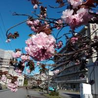 石川県立中央病院のサクラ