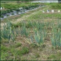 雨が降り出す前の昨日中に、ネギの植え替えを済まそうと思い・・・