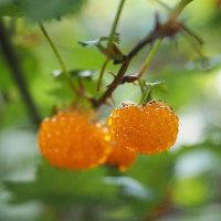 ★モミジイチゴの実が熟れて美味しそう 2017