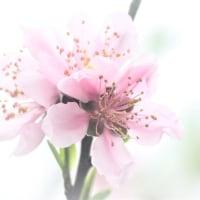 桜とスモモの次に★桃の #花は咲く