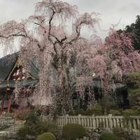 ◆お出かけ編 身延山久遠寺の桜(山梨県)