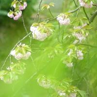 遅咲き・八重桜