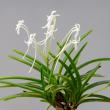 富貴蘭の花 17