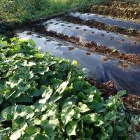 イチジク収穫と秋野菜種まき