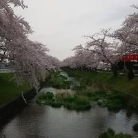 なんとか雨のやみ間の桜頑張りました