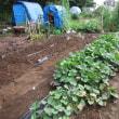 7月23日・サツマイモの畝除草と様子です。