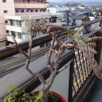今年の峰子(藤の花)