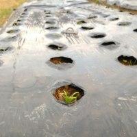 ホウレンソウ、芽が大きくなってきた
