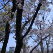 造幣局桜の通り抜け2017〜その2〜